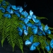blue-morpho-butterflies