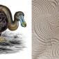 dodo-pavone