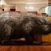 lasiorhinus-latrifrons-wambad-hairy-nosed-wombat