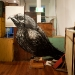 falco-berigora-kirrkirlanji-brown-falcon