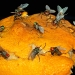 flies-orange