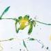 kimberley-tree-frog
