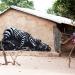 roa-gambia-wow-17