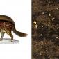 bearded-leopard